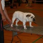 Frigg fik bedømmelsen Excelent ved Bulldogklubbens udstilling i Gørløse