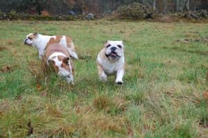 efter en dag på udstilling kan hundene godt lide at løbe frit på marken og i skoven
