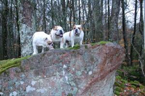 hundene synes det er sjovt at hoppe op på de store sten i skoven